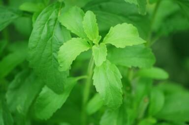 Stevia - Superalimentos - Hábitos Saludables de Vida